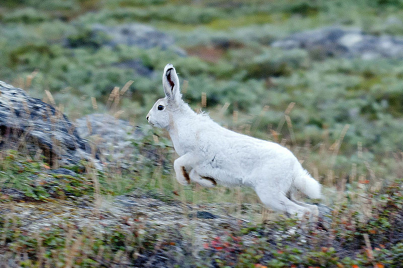 800px-Arctic_Hare_in_Greenland