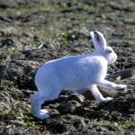 ホッキョクウサギ、丸くて可愛いけど実は足が長い!?