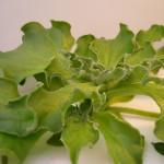 水滴がついてる…?変な野菜アイスプラントの食べ方とは?