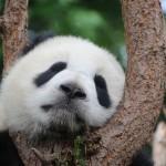 パンダの雑学まとめ一覧!笹は好物ではなく、レッサーパンダの仲間でもない。