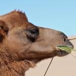 ラクダのこぶに詰まっているものの正体、実はこぶは食べられる。