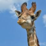 キリンの舌が凄く長い理由、キリンの面白い雑学を紹介。