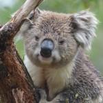 コアラの握力が1トンという噂や意外な鳴き声などの雑学。
