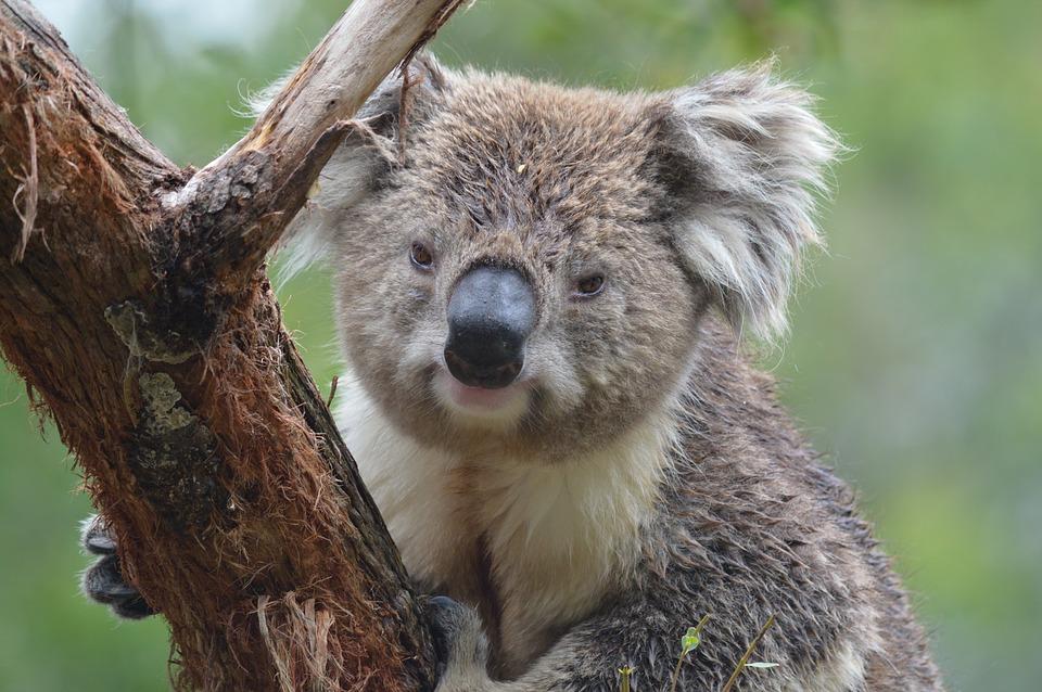 コアラ握力1トン鳴き声