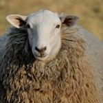 寝る時に羊を数える理由や由来、実は余計に眠れなくなる。