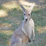「カンガルー」と「ワラビー」の違い、実はどちらも同じ動物?