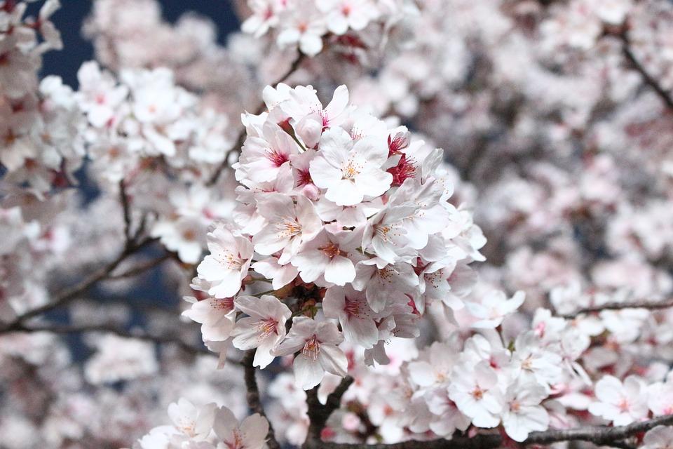 北海道の花見といえばジンギスカン!ここまで定着した理由とは?