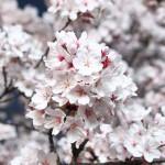 花見の由来・意味は?実は1000年以上の歴史を持つ伝統文化だった。