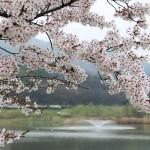 桜の雑学まとめ、お花見で盛り上がる豆知識を用意しました!