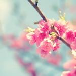 梅と桃と桜の違いや見分け方とは?それぞれの特徴を解説。