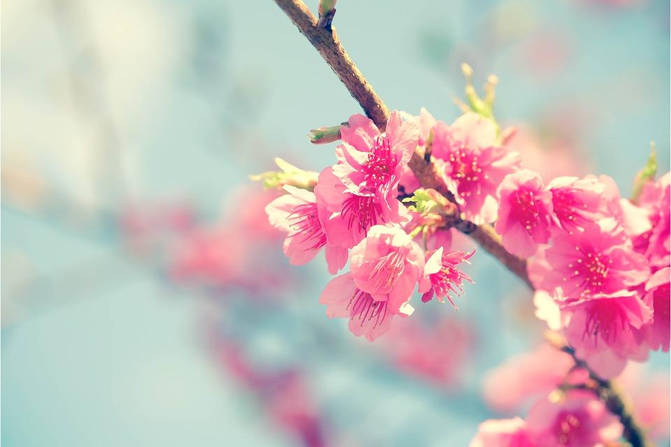 梅桃桜違い