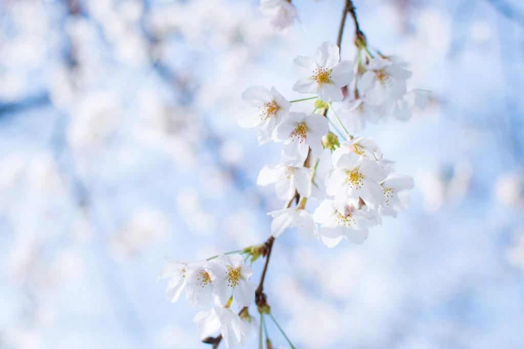 梅と桃と桜の違い