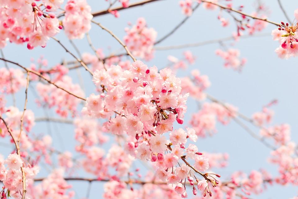 桜の雑学まとめ