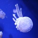 クラゲに足や触手が何本生えている?多すぎて絡まる場合もある