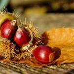 栗にイガがある理由、種はどこなのかなど、楽しい秋の雑学。