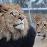 """ライオンの別名が""""獅子""""の理由など、百獣の王にまつわる雑学!"""