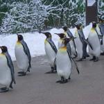ペンギンの足は長いって本当?昔は空を飛ぶことも出来た!
