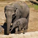 ゾウの歯は4本だけど、とても丈夫で生涯に5回も生え変わる!