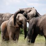 ゾウの鼻の面白い雑学!実は様々な凄い能力が隠されている!