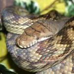 ヘビには耳が無い、それではどうやって音を感じ取っている?