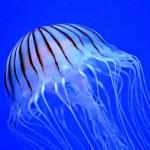 クラゲの脳はどこ?意外と知られていない不思議な生態と雑学