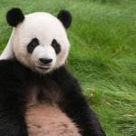 パンダの鳴き声って知ってる?動画付きで簡単に解説します!
