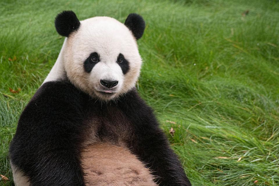パンダ鳴き声