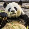 パンダは笹や竹が好きなわけではない、昔は肉を食べていた!