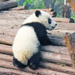 パンダのしっぽは何色?画像付きでわかりやすく解説します!