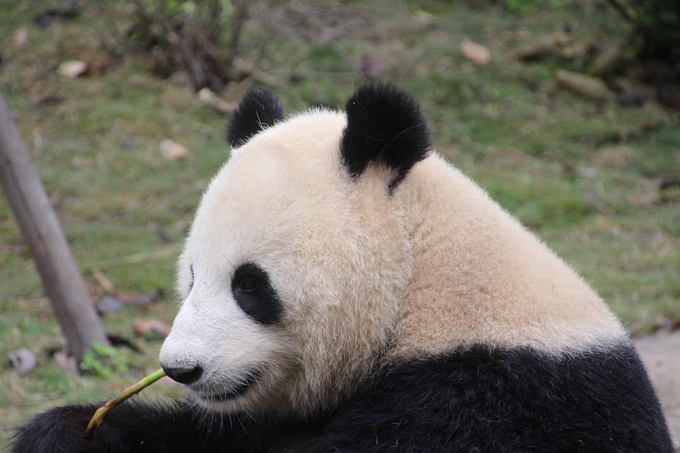 パンダしっぽ