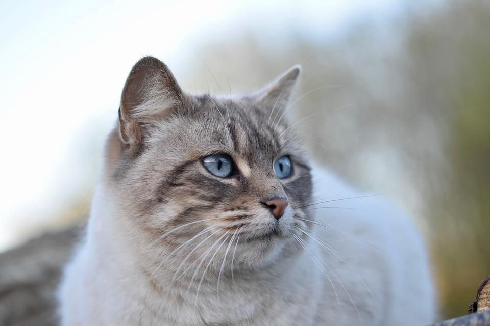 三味線皮猫