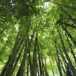 竹水と呼ばれる「竹から採れる貴重な水」について解説します!